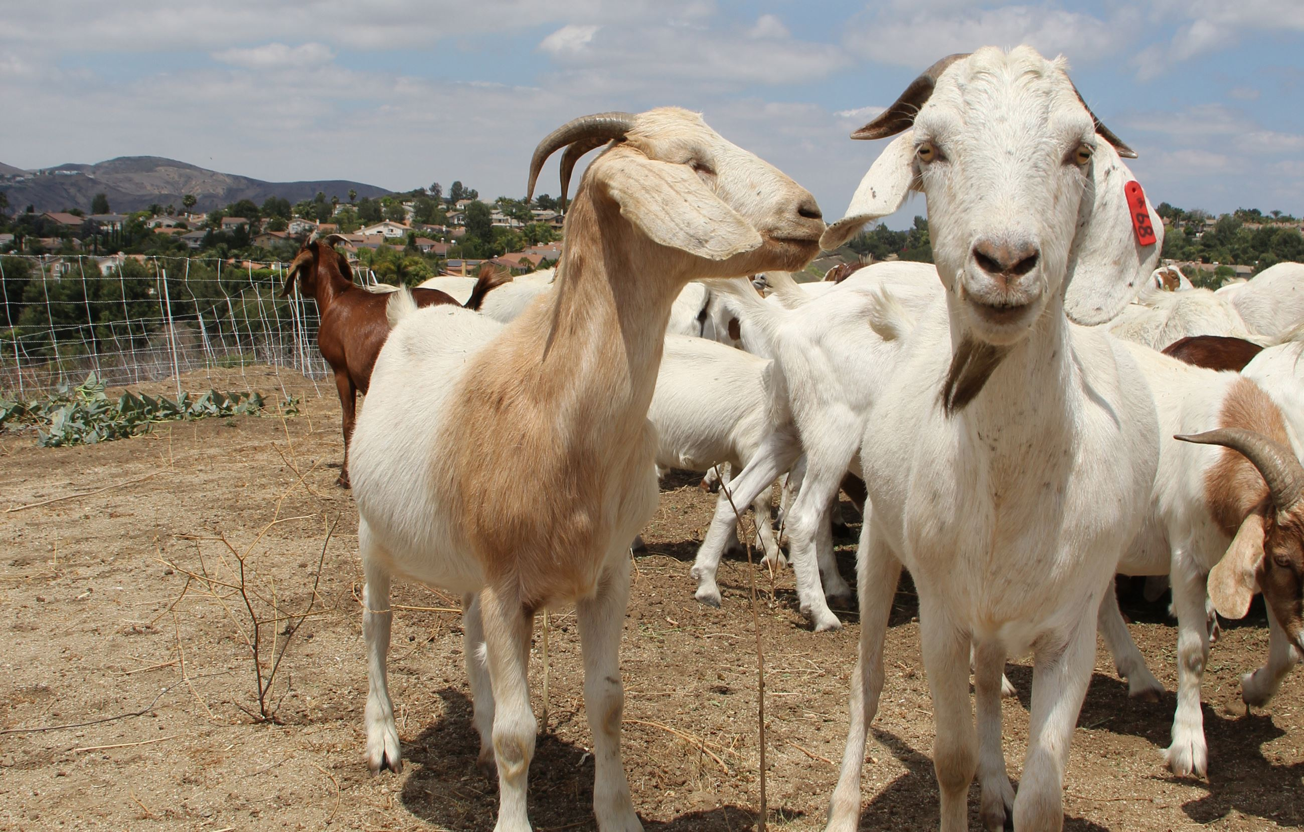goats for web