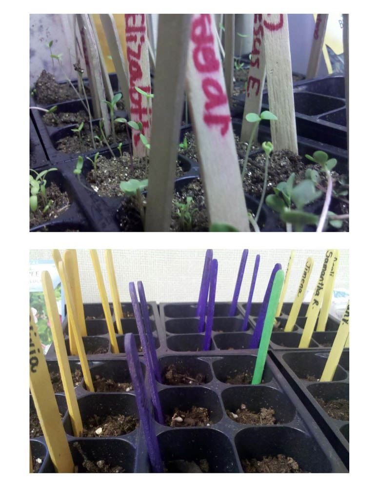 Marking the seedling tray with which plants have been planted in which tray