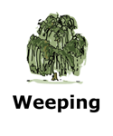 Drawing of weeping tree type
